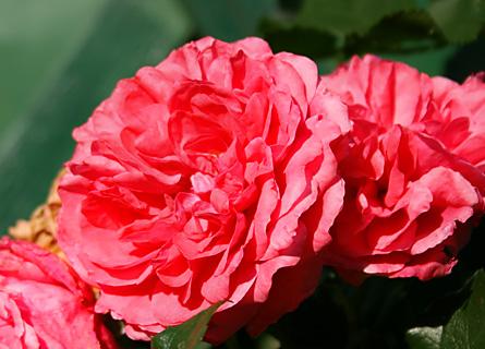 Rose im Garten der Fischerwiege am Passader See
